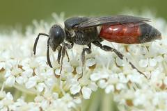Grote Bloedbij, Sphecodes albilabris, fouragerend op peen (hansKiek) Tags: grote bloedbij bij sphecodes albilabris peen fourageren sgravenhage zuidholland thenetherlands nl bee wildbiene biene abeille parasiet parasite
