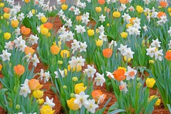 INSANELY SPRING (Irene2727) Tags: flowers flora nature daffodil tulips orange whiteyellow outdoors fieldofflowers