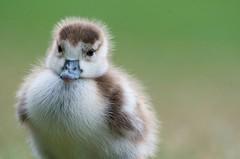 Cute little gosling (Rupinder Khural) Tags: community explore royalbotanicgardens baby fluffy beautiful lens 300mm nikon macro animal bird fella little innocent cute wildlife nature kewgardens kew