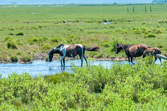 07082017-237-1 (bjf41) Tags: chincoteague horses wild herd colts