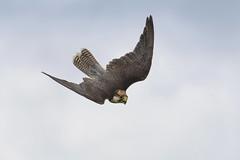 Lanner Falcon flight (Margaret S.S) Tags: falcon lanner bird inflight dive captive