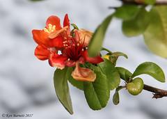 Quince Flower (K_D_B 2 Million views. Thanks) Tags: quince flower test canon 7dmkii kdb tamronsp150600mmf563divcusdg2a022