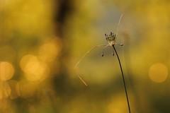 Alito. (2) (SimonaPolp) Tags: onion flowers sunset macro macroflower nature macronature gold bokeh sun sunlight july summer summertime wildflower