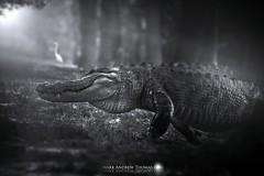 Return of the King (DirectX1) Tags: alligator alligators florida floridaeverglades floridawildlife naturephotography nature reptile crocodile animals dangerous blackandwhite everglades biggator giantalligator awesomealligatorpic apexpredator alligatorwalking alligatorcrossing