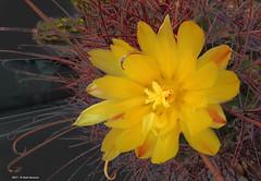Ferocactus (Paolo Bonassin) Tags: cactaceae cactacee cactus succulente flowers ferocactus