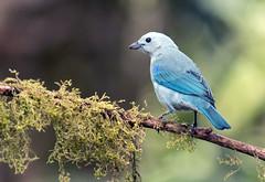 IMG_2137 Blue-gray Tanager (suebmtl) Tags: bird birding ecuador pichinchaprovince santadeo tanager bluegraytanager thraupisepiscopus
