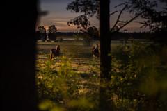 Golden Warriors (Ludwig Ohlson) Tags: finland scandinavia sunrise samyang 50mm xe2 fujifilm nordic summer midnightsun nature horse horses