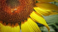 The intruder (Luc1659) Tags: girasole sunflower tournesol ape estate dettagli sole été sun summer