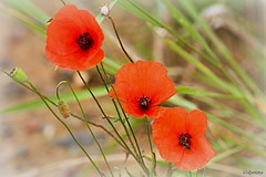 16072017-DSC_0005 (vidjanma) Tags: trois coquelicots fleurs