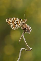 Escalera de caracol (Fernandoalva) Tags: d500 105 nature nikon macrofotografía macro mariposa