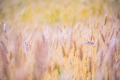 Magical nature (icemanphotos) Tags: wheat agriculture plant grain food closeup nature natural farm cereal seed background harvest field