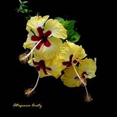Hibiscos/Hibiscus (Altagracia Aristy Sánchez) Tags: hibiscos hibiscus hibisco laromana quisqueya repúblicadominicana dominicanrepublic caribe caibbean caraïbe antillas antilles trópico tropic américa fujifilmfinepixhs10 fujifinepixhs10 fujihs10 altagraciaaristy fondonegro blackbackground sfondonero