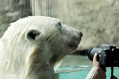 This is my best side... (K.Verhulst) Tags: todz polarbears polarbear ijsberen ijsbeer blijdorp diergaardeblijdorp rotterdam