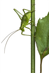 simply green (t.schwarze) Tags: pentaxart pentax a200mm40macro green grün animal tier white weis grasshopper grashüpfer zartschrecke