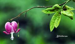 Lonely Heart (haidarism (Ahmed Alhaidari)) Tags: heart bleedingheart green pink leaf leafs nature outdoor bokeh macro macrophotography ngc plant flower sonya65 song bleeding