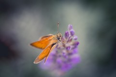 At least one is posing for me (Vintage lens lover (slowly catching up)) Tags: lavendel sommer sonyalpha tessar50mm28 carlzeiss schärfeverlauf schärfentiefe depthoffield dof bokeh outdoor natur butterfly schmetterling