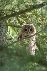 Tawny owl (wardphotography1) Tags: owl tawny forrest northumberland birds rare uk northeast wildlife nature