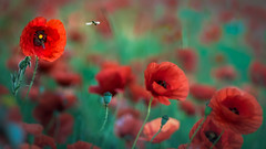 Poppies (Jean-Luc Peluchon) Tags: insecte insect abeille bee nature color couleur rouge red fz1000 panasonic lumix flower fleur flore flora wild wildlife vol flight coquelicot poppy
