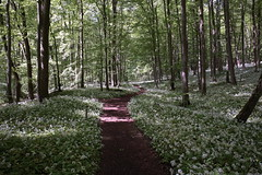 Nationalpark Hainich (Harald Kobmann) Tags: nationalpark hainich buchenwald bärlauch unesco welterbe welterbepfad