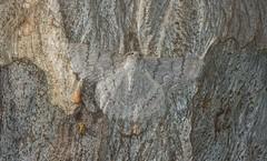Crypsiphona ocultaria (dustaway) Tags: arthropoda insecta lepidoptera geometridae geometrinae crypsiphonaocultaria redlinedgeometridmoth australianmoths australianinsects geometridmoth geometermoth forestredgum eucalyptustereticornis goonellabah northernrivers nsw australia australianwildlife nature natur