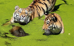 siberian tiger duisburg BB2A0279 (j.a.kok) Tags: tijger tiger siberischetijger siberiantiger duisburg kat cat azie asia siberie mammal zoogdier dier animal pantheratigrisaltaica