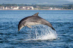 Moray Firth Dolphin (cjdolfin) Tags: alba bottlenosedolphin chanonrypoint fortrose highland morayfirth rosemarkie rossshire scotland scottish tursiopstruncatus blue breach cetacean cjdolfin colour dolphin jump mammal marine marinemammal nature odontocete summer wild wildlife