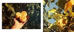 GoT Sansa Stark Lemon Cakes (Yuna Frolov) Tags: lemon cakes game thrones got cupcakes book botanic tree leaves baking baked cake sansa stark nerdy nummies