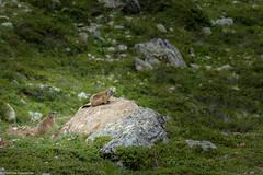 Murmeltier (maka3110) Tags: marmot ötztaleralpen österreich tirol almwiese alm platzertal grün bergwiesen berge alpen murmeltier