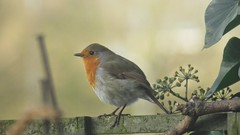 Robin on my fence (philipworsell) Tags: robin birds