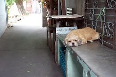 left to keep an eye on things (the foreign photographer - ฝรั่งถ่) Tags: dscjun52015 small dog bench khlong bang bua bangkhen bangkok thailand sony rx100