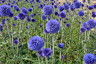 Echinops Ruthenicus ( Southern Thistle  )