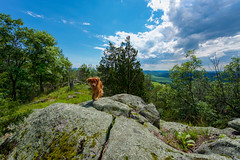 Mountain Dog (kirstenscamera) Tags: mountadam newyork ny upstate goldenretriever dog clouds sky outdoors bluesky mountain hike trail bushwhack summit nikon summer camping dslr d810 trees bucolic blackdirtregion warwickvalley warwick pineisland fields grass green 2017 hikerdog path ontop lichen moss ollie stormcloud