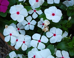 Cluster Of Vinca Flowers. (dccradio) Tags: lumberton nc northcarolina robesoncounty nikon d40 dslr outside outdoors flower floral flowergarden vinca pink flowerbed plant greenery foliage