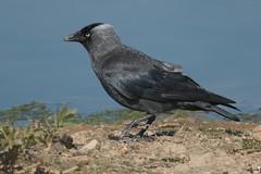 Blue-black (Andrew_Leggett) Tags: jackdaw corvusmonedula corvid crow blue black contrast bird water lake edge shore summer wild nature natural rspboldmoor