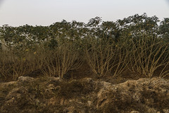Cassava (Manihot esculenta) (Keith Kelly) Tags: anlongklong asia cambodge cambodia cassava kh kampuchea keithkelly krakor manihotesculenta pursatprovince southeastasia agriculture country countryside farm farmland field food keithakelly plant rows rural shrub tuberousroot yuca pouthisat