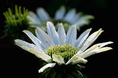 morning dew (Simple_Sight) Tags: flower dew summer plant garden green white closeup macro backlight drops
