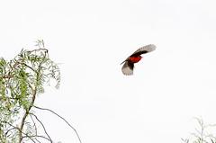 Take off (rod_b_k) Tags: ifttt 500px air sky red winter color bird nature freedom tree beautiful season flight animal isolated small wildlife outdoors wing wild single desktop tarija no person
