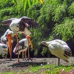 Milky Stork, Diergaarde Blijdorp, Rotterdam, Netherlands - 5032 thumbnail