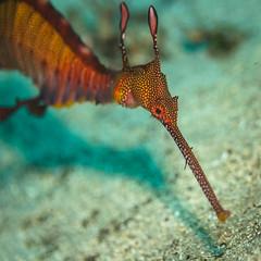 Weedy Sea Dagon    Kurnell (David Marriott - Sydney) Tags: kurnell newsouthwales australia au weedy sea dragon nsw sydney kamay national park botany bay leap steps underwater scuba diving ikelite macro