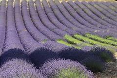 IMG_1754 (Toulon1984) Tags: valensole lavande nature champs