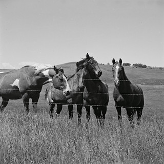 horses in the Porcupine Hills