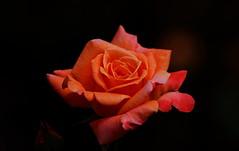 flower 1232 (kaifudo) Tags: sapporo hokkaido japan flower rose arizona nikon d810 sigmaapomacro150mmf28 sigma 150mm macro 北海道 札幌 北大植物園 薔薇 アリゾナ