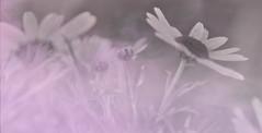 misty (Greg Rohan) Tags: argyranthemum daisies spotcolour blackandwhite bw misty mist pink macrophotography macrodaisy plant flowers flower daisy nature photography 2017 d7200