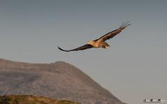 Havørn-0590 (jarud) Tags: 2017 eagle fugl havørn naturopplevelser norge norway smøla whitetailed ørn