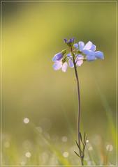 Pinksterbloem (jos.pannekoek) Tags: macro sigma 150 d500 dew dauw flower bloem