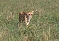 The  Lady is a Hunter (The Spirit of the World) Tags: simba lioness lion cat feline themara masaimara kenya eastafrica africa safari gamedrive gamereserve nationalpark grasses green wildlife nature