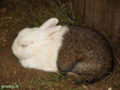 est200612 (Protty coniglio nano) Tags: coniglio conigli protty bunny bunnies rabbit rabbits kaninchen lapin coniglietti coniglionano prottyit coniglinani oryctolagus oryctolaguscuniculus