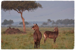 One Morning, After the Rain (The Spirit of the World) Tags: landscape morning dew misty themara masaimara acaciatree trees antelopes waterbuck kenya eastafrica africa nature wildlife grasses savannah