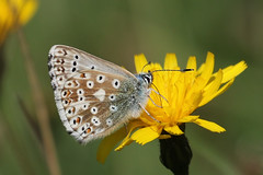 Common Blue (roger_forster) Tags: commonblue butterfly polyommatusicarus martin down hampshire salisbury feeding wild insect hiwwt nature reserve
