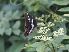 アオスジアゲハ (Polotaro) Tags: mzuikodigital45mmf18 butterfly insect bug nature olympus epm2 pen zuiko チョウ 蝶 虫 昆虫 自然 オリンパス ペン ズイコー アオスジアゲハ 7月